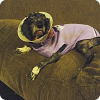 Poodle (Miniature)/Cocker Spaniel Mix Dog for adoption in Chicago, Illinois - Madame Souza