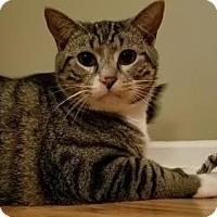 Domestic Shorthair Cat for adoption in Garner, North Carolina - Hagrid