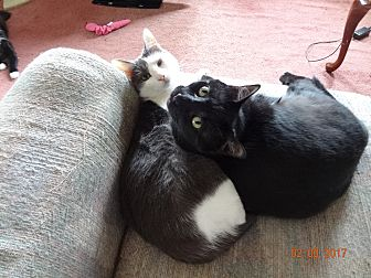 Domestic Shorthair Cat for adoption in Saint Albans, West Virginia - Parker