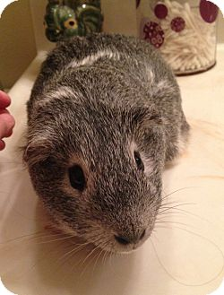 Guinea Pig for adoption in Fullerton, California - Seiko