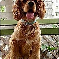 Adopt A Pet :: Sir Winston - Sugarland, TX
