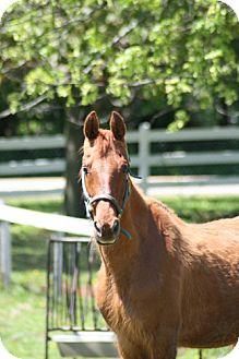 Saddlebred Mix for adoption in Woodstock, Illinois - Bonnie