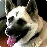 Adopt A Pet :: Nala Akita - Bonsall, CA
