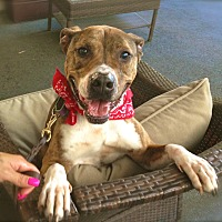 Boxer/American Staffordshire Terrier Mix Dog for adoption in Los Angeles, California - Handsome Reilly-VIDEO