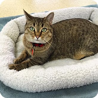 Domestic Shorthair Cat for adoption in Glendale, Arizona - Riley