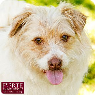 Tibetan Terrier/Wheaten Terrier Mix Dog for adoption in Marina del Rey, California - Suzy