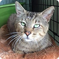 Domestic Shorthair Cat for adoption in Breinigsville, Pennsylvania - Eeyore