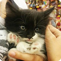 Adopt A Pet :: Domino - Mesa, AZ