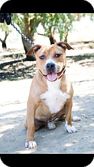 American Pit Bull Terrier Mix Dog for adoption in Lincoln, California - Ginger