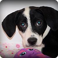 Adopt A Pet :: Astra~meet me~ - Glastonbury, CT