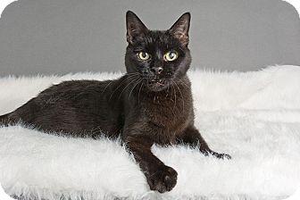 Domestic Shorthair Cat for adoption in Wilmington, Delaware - Bruno