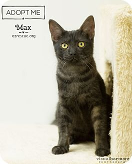 Domestic Shorthair Cat for adoption in Phoenix, Arizona - Max