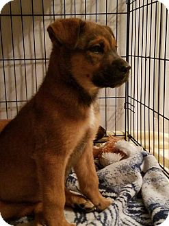 Shepherd (Unknown Type) Mix Dog for adoption in Albuquerque, New Mexico - Charlie