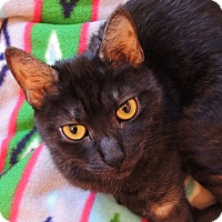 Exotic Cat for adoption in New York, New York - Tiki
