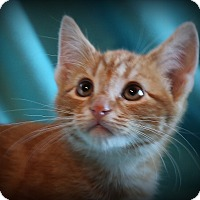 Domestic Shorthair Kitten for adoption in Staunton, Virginia - BJ