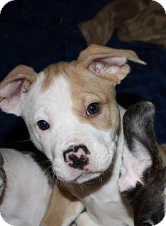 American Bulldog Mix Dog for adoption in Gainesville, Florida - Nutmeg