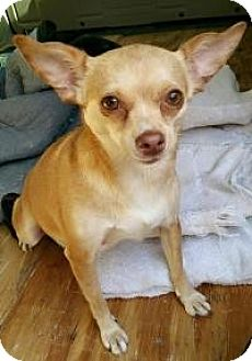 Chihuahua Mix Dog for adoption in Matthews, North Carolina - Tinker bell