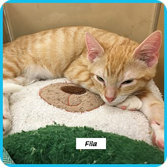 Domestic Shorthair Cat for adoption in Miami, Florida - Fila