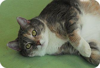 Domestic Shorthair Cat for adoption in Winchendon, Massachusetts - Dezzie