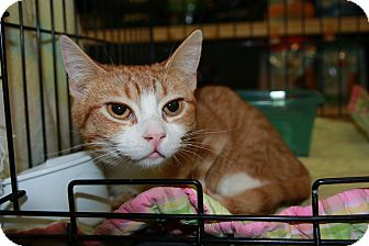 Domestic Shorthair Cat for adoption in Rochester, Minnesota - Louie