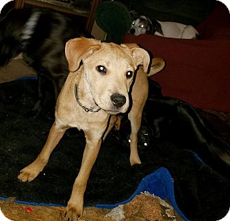 Labrador Retriever Mix Puppy for adoption in Burlington, Vermont - Mario