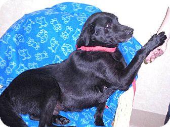 "Labrador Retriever Mix Dog for adoption in New Castle, Pennsylvania - "" Zack """