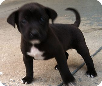 Terrier (Unknown Type, Medium)/Retriever (Unknown Type) Mix Puppy for adoption in CHICAGO, Illinois - SAM