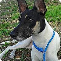 Adopt A Pet :: Keeko - Jacksonville, FL