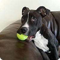 Adopt A Pet :: Ace - West Allis, WI