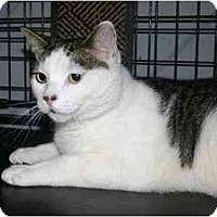 American Shorthair Cat for adoption in Lake Ronkonkoma, New York - Twix
