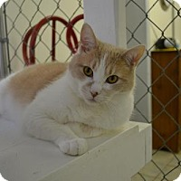 Domestic Shorthair Cat for adoption in East Smithfield, Pennsylvania - Forest