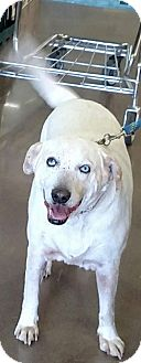Siberian Husky/Australian Cattle Dog Mix Dog for adoption in Surprise, Arizona - Tramp