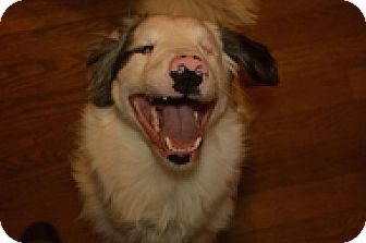 Australian Shepherd Mix Dog for adoption in Seymour, Connecticut - Sammie