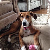 Adopt A Pet :: Shea - Shelter Island, NY
