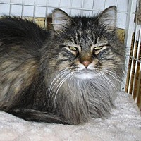 Maine Coon Cat for adoption in Eldora, Iowa - Bud/adopted