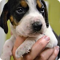 Adopt A Pet :: Sven - Lake Odessa, MI