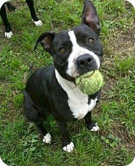 Labrador Retriever/American Pit Bull Terrier Mix Dog for adoption in Burlington, Vermont - Angel