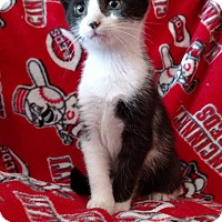 Domestic Shorthair Kitten for adoption in Middletown, Ohio - Robbie Plant
