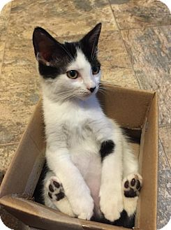 Domestic Shorthair Cat for adoption in Flint HIll, Virginia - Amira