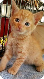 Domestic Shorthair Kitten for adoption in Williamston, North Carolina - Tanger