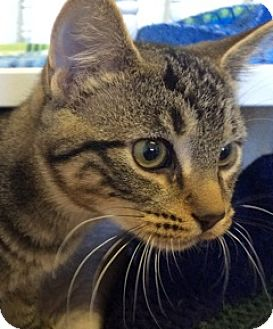 Domestic Shorthair Kitten for adoption in White Cloud, Michigan - Peterson