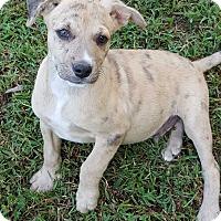 Adopt A Pet :: Camo - Glastonbury, CT