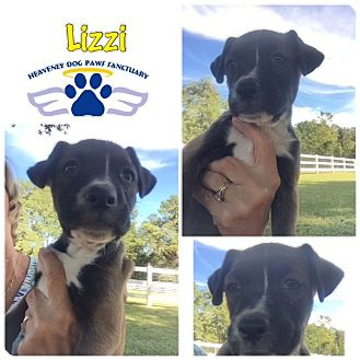 Boxer Puppy for adoption in Folsom, Louisiana - Lizzi