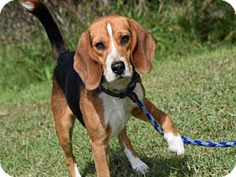 Beagle Dog for adoption in Easton, Maryland - HOOCH