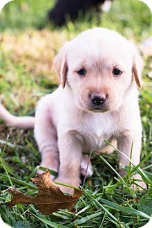 Labrador Retriever Mix Puppy for adoption in Hanover, Pennsylvania - Charlotte Bronte