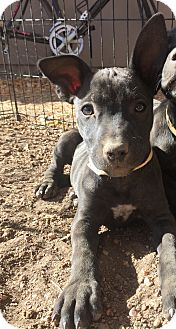 Labrador Retriever/Pit Bull Terrier Mix Puppy for adoption in Fort Collins, Colorado - Ronda Rousey (FORT COLLINS)