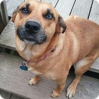 Australian Shepherd/Shepherd (Unknown Type) Mix Dog for adoption in Painesville, Ohio - Karma