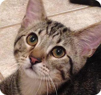 Domestic Shorthair Kitten for adoption in San Antonio, Texas - Tito