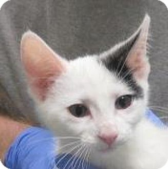 American Shorthair Kitten for adoption in Lincolnton, North Carolina - Dolly, Molly, Willie