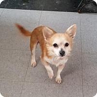 Chihuahua Mix Dog for adoption in Rockville, Maryland - Brett